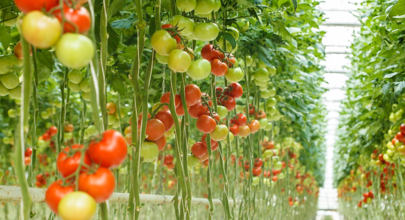 Microgrids, indoor agriculture go together like peas in a pod