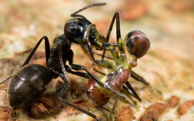 Certain ant species commit suicide to protect their territory.