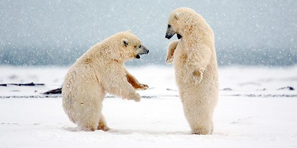 Polar bears prey literally serves itself up.